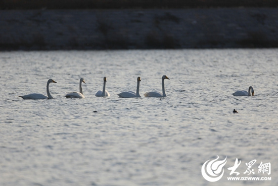 A growing number of migrating birds stop over on the Chaobai River in spring in recent years in the eastern city of Rizhao in Shandong province. [Photo:dzwww.com]