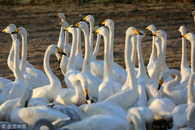 This photo shows the swans walk on lake shores in Pinglu County, Shanxi Province on Dec 16, 2017. Swans are the  secondary national protected animal specie in China. [Photo: VCG]