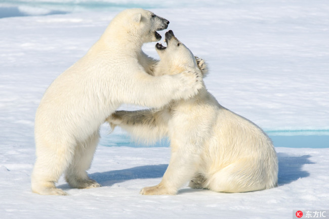 Two polar bears cubs play at the Spitsbergen archipelago, Norway. [Photo: IC]