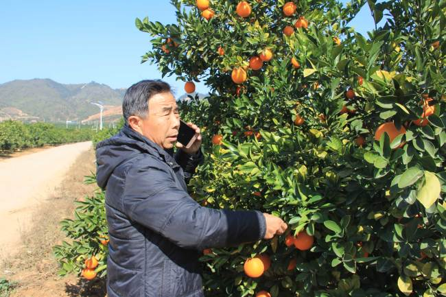 Ruijin-based farmer Deng Daqing examines the navels oranges on the branches on December 20, 2017. [Photo: China Plus/ Li Shiyu]