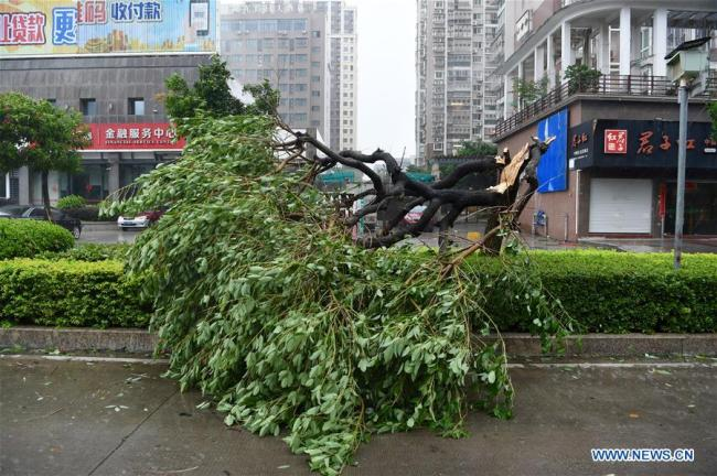 A tree is blown down by Typhoon Maria at Lianjiang County, southeast China's Fujian Province, July 11, 2018.