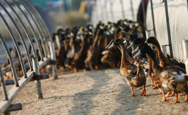 Ducks raised in rice paddy fields provide income to the farmers in Xiaogang Village, the birthplace of China's agriculture reforms. [Photo: China Plus/ Li Jin]
