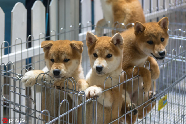 Akita and Shiba Inu puppies are pictured during Shanghai International Pet Expo 2018 (SIPE 2018) at the Shanghai World Expo Exhibition & Convention Center in Shanghai, China, 8 April 2018. [File Photo: IC]