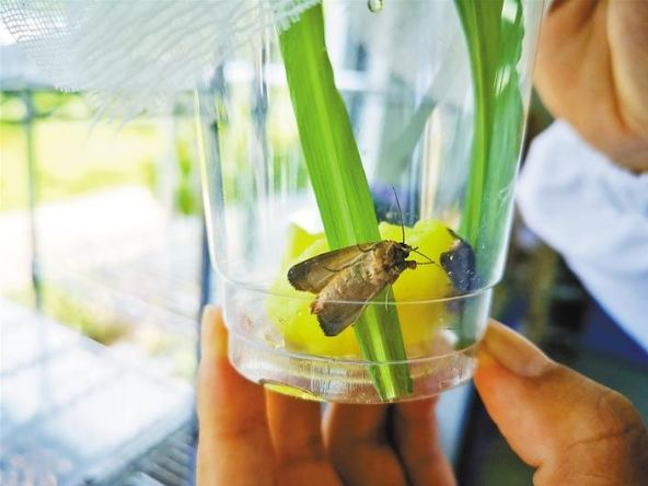 A researcher holds a spodoptera frugiperda sample. [Photo: sznews.com]