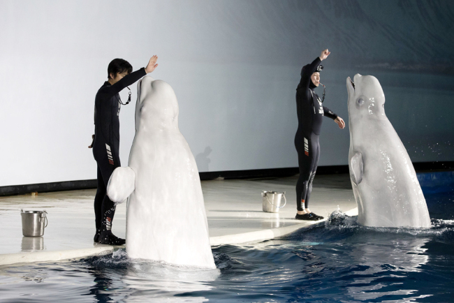 Little Grey and Little White, two 12-year-old female belugas, perform at the Changfeng Ocean World in Shanghai on July 3, 2018. [File photo: VCG]