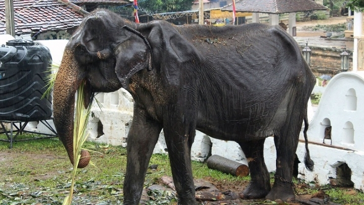 Public outrage in Sri Lanka after sick elephant marched in parade