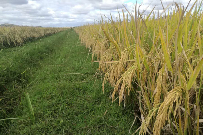 Hybrid rice grown in Madagascar.[Photo: courtesy of Yuan's International Agricultural Development Co., Ltd.]