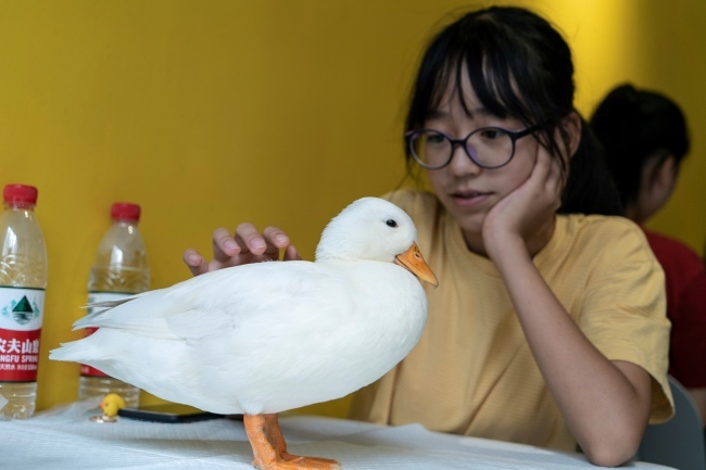 This photo taken on August 29, 2019 shows a woman touching(触摸 chùmō) a duck at Hey! Wego duck cafe in Chengdu in China's southwestern Sichuan province. [Photo: AFP/Pak YIU]