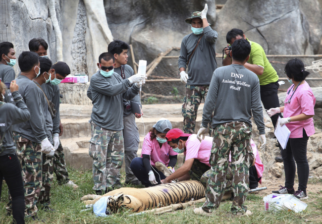 "In this Monday, May 30, 2016, file photo, wildlife officials begin removing some of the 147 tigers held at a ""Tiger Temple"" following accusations that the monks were involved in illegal breeding and trafficking of the animals in Saiyok district in Kanchanaburi province, west of Bangkok, Thailand. On Monday, Sept. 16, 2019, wildlife officials said more than half of the tigers rescued from the temple have died due to poor health from weakened genetic traits as a result of inbreeding. [File Photo: AP]"