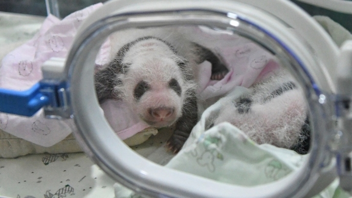 4 giant panda cubs make public debut in southwest China city