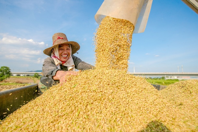 A farmer harvests rice in Ji'an, Jiangxi province, in July, 2020. [Photo: CFP]