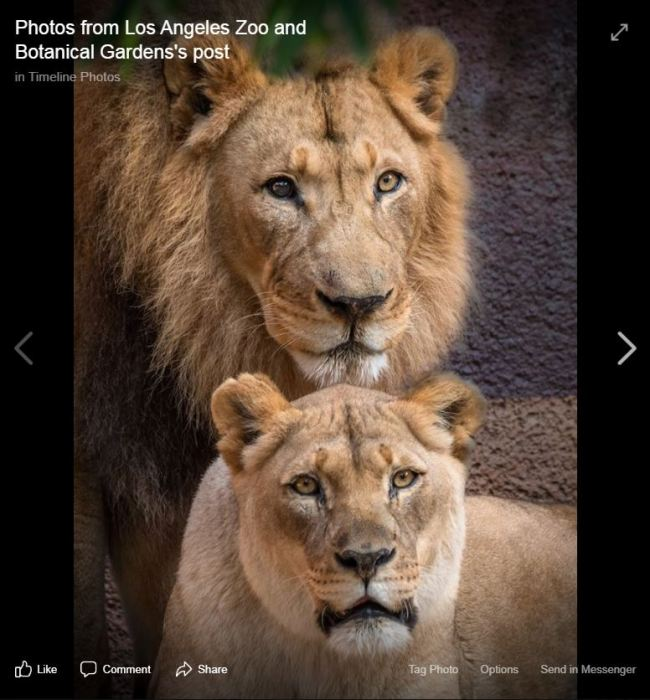 A file photo of the African lion couple, Hubert and Kalisa [Photo taken from the Facebook page of Los Angeles Zoo and Botanical Gardens]
